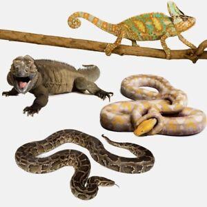 WTB: babe veil eyed chameleon and a snake set ip