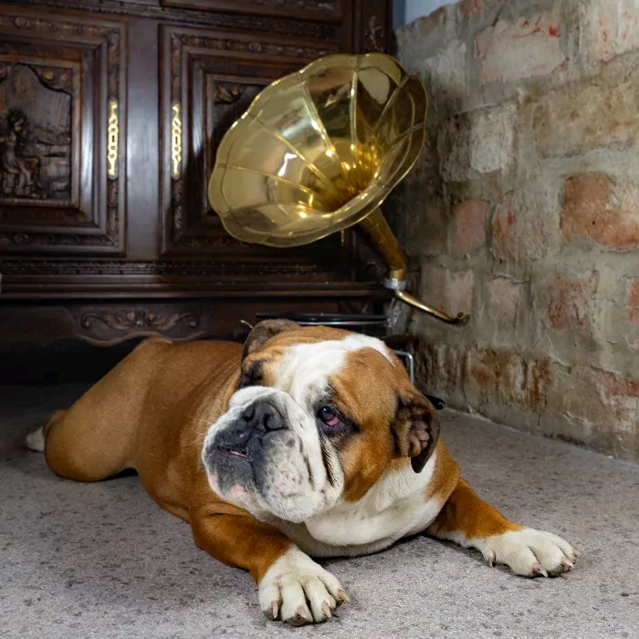 English Bulldog for sale | in Southwark, London | Gumtree