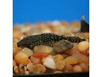 Fish tank amd small plec