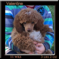 CKC Red Miniature Poodle Puppy