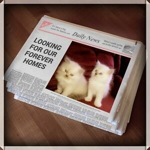 *TWO HIMALAYAN PERSIAN FEMALE BEAUTIES - ON HOLD*