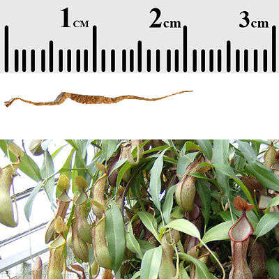 Long thin seeds with bump in midde ~ 2cm