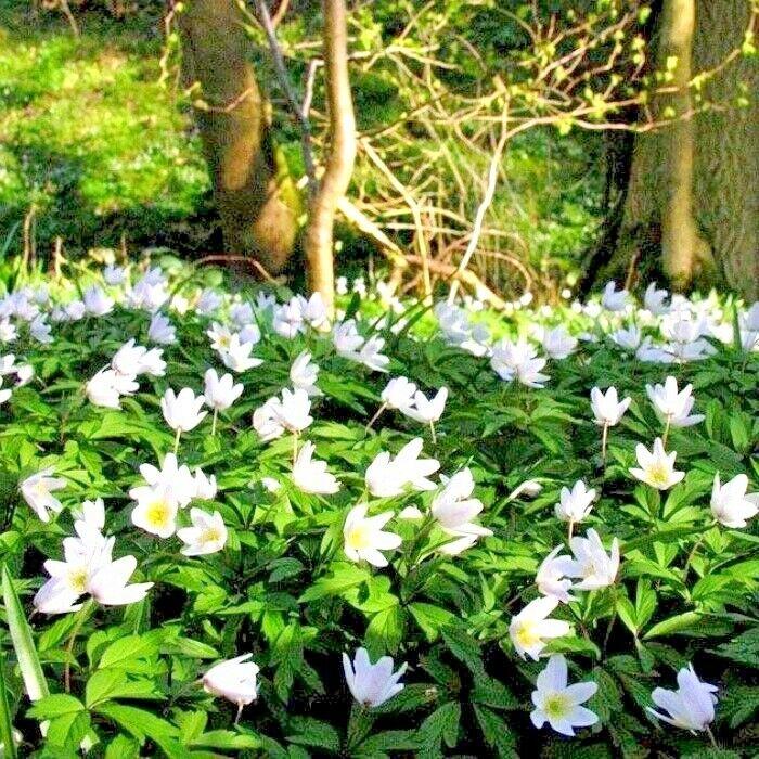 25 ENGLISH WOOD ANEMONE NEMOROSATop quality spring flowering