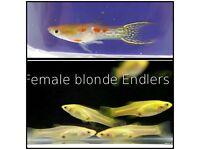 Endler Guppy's (blonde females) 4 for £5