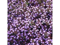 5 x 9cm Pot Russetings Creeping Thyme Herb | Aromatic Mat-Forming | Evergreen