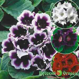GLOXINIA SEEDS - MIX OF RUSSIAN HYBRIDS, FOR YOUR HOME