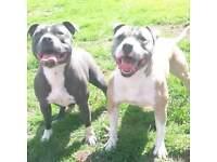 full staffy pups