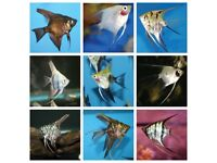 6x Angelfish for sale nice assortment tropical fish