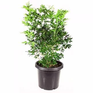 10 x Murraya Paniculata (hedge plant)