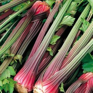 CELERY - RED STALK - 2000 SEEDS (ORGANIC)