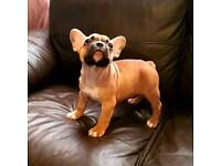 French Bulldog (male)