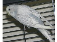 light blue budgie pair