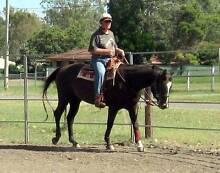 Classy Quarter Horse Mare Mutdapilly Ipswich City Preview