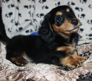 One Sweet Miniature Long Coat Dachshund Puppy