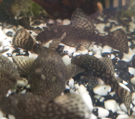 Bristlenose pleco tropical fish