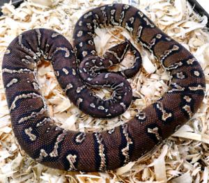 Angolan python male juvenile