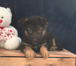 Gorgeous German Shepherd puppies