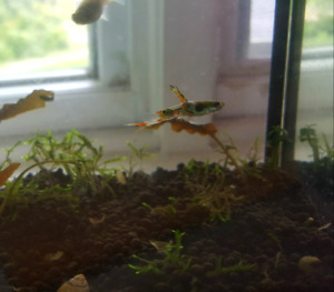 HEALTHY ENDLERS FOR SALE (livebearers) pls read Ad