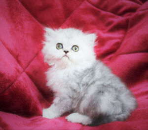Beautiful Persian Kitten