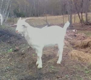 2 buck goats