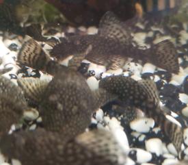 Bristlenose pleco/ angelfish tropical fish