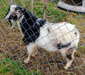 Registered Nigerian Dwarf Goat Buck