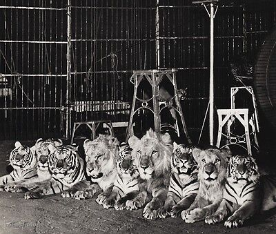 1940's Vintage 11x14 CIRCUS LIONS TIGERS Animal Act Portrait Ringling Bros Photo