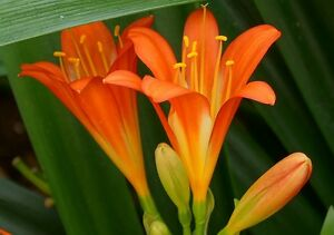 CLIVIA plants for sale! Huntfield Heights Morphett Vale Area Preview