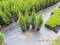 Thuja Smaragd hedging plant