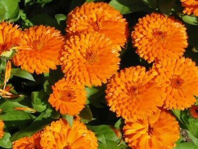 Calendula seeds Pacific Beauty Orange (Pot marigold), in bulk from 1 kg