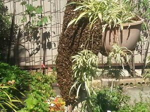 Bee Swarm Removal FREE St Ives Ku-ring-gai Area Preview