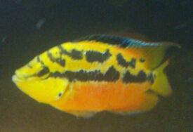 Stunning Salvini cichlid tropical fish