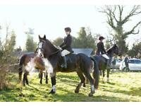 16.2hh shire horse gelding for part loan/share