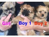 Chihuahua x Yorkshire terrier Chorkie pup puppies