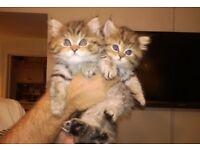 Persian Chinchilla x Ragdoll Kitten