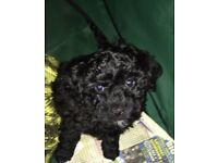 Black poochon (Bich poo) puppy. Bichon frise x with toy poodle