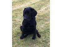 13month old Black Labrador