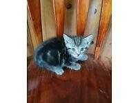 Cross bengal tabby kitten and black and white kitten