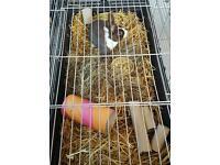 Dutch rabbit 5 months old