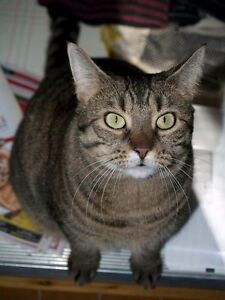 Lovely, Intelligent spayed female Tabby seeking new home