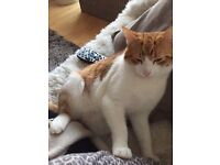 Ginger Male Cat 6 Months Old In Need Of New Home