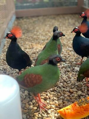 1 Egg Red Crested Wood Roul Roul Partridge Rare Gamebird I Have No Heat Packs