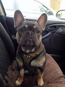 french bulldog puppies Adelaide CBD Adelaide City Preview