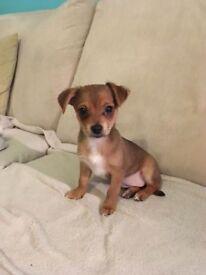 chihuahua cross jack puppy