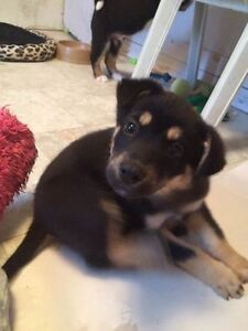 Paws for Love dog rescue has a 9 week mix breed pup for adoption