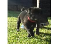 Last Remaining Puppy - 3/4 Pug READY NOW