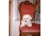 Maltese puppies for sale only to good homes