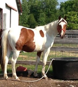 Two year old paint gelding