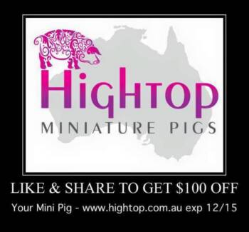 Australian Miniature Pigs ~ TrueBlu Mini Pigs South Tamworth Tamworth City Preview