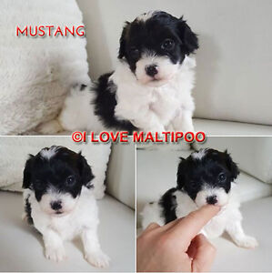 BEAUTIFUL TCUP, TINY TOY, TOY MALTIPOO PUPPIES